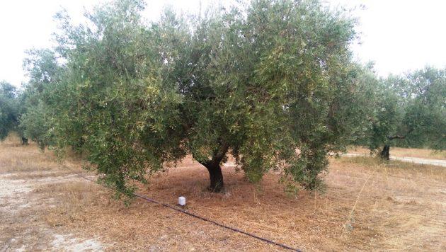 Sensores de humedad en olivos variedad hojiblanca