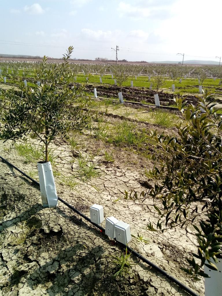 Olivos con sensores-Ingeniería Agrícola aplicada al riego