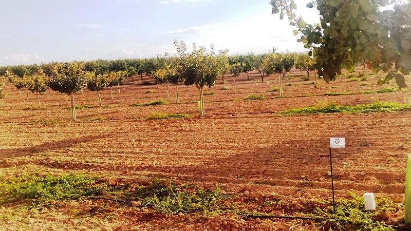 Plantación de pistachos con riego controlado por sensores PLANTAE
