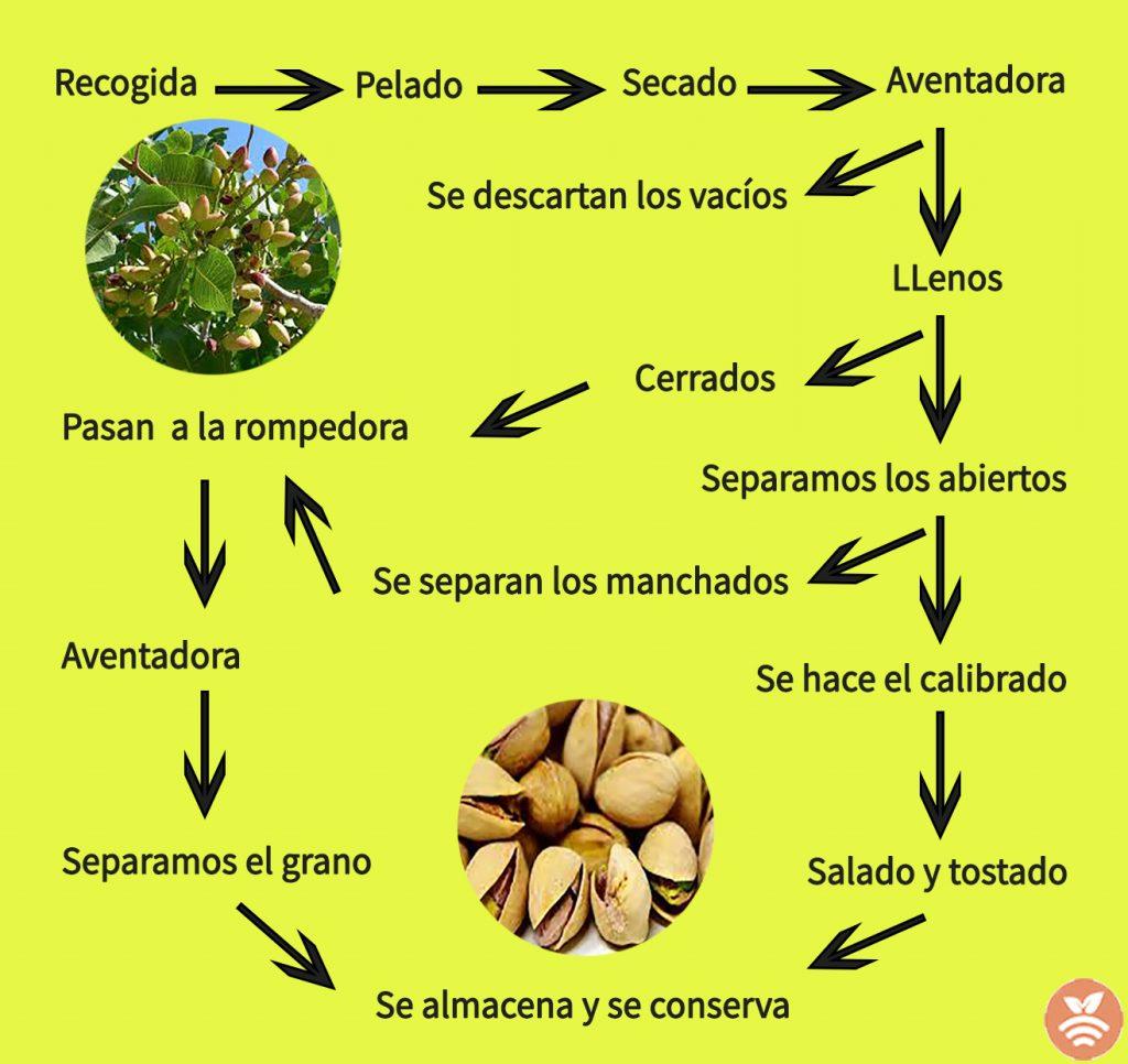 Proceso de recolección del pistacho