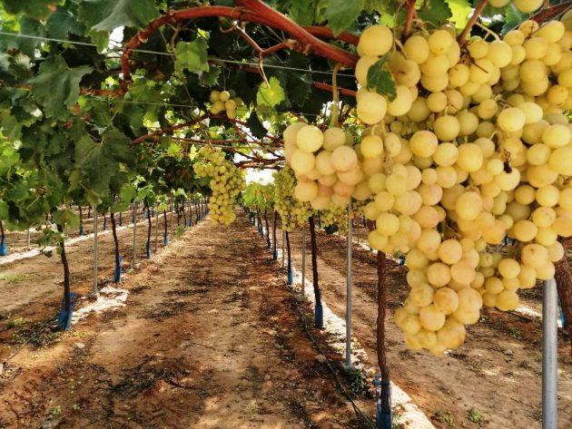 Racimo de uva y parral