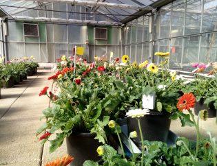 Gerbera flower greenhouse
