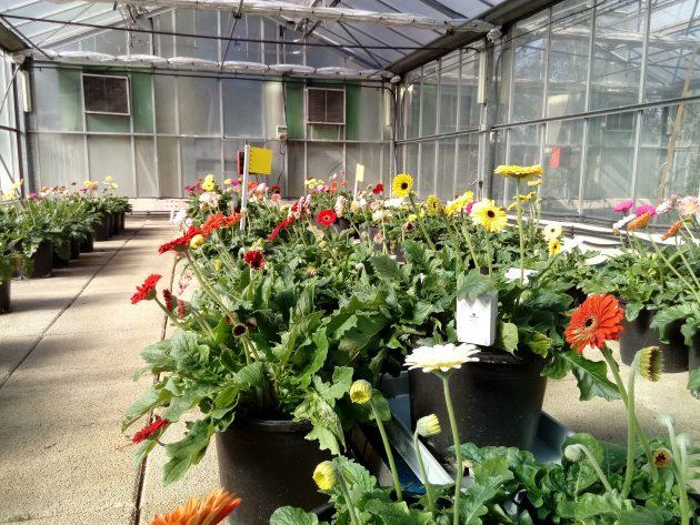 Invernadero de flor Gerbera