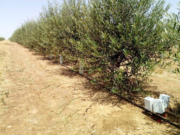 Sensores/sondas agrícolas en olivos superintensivos