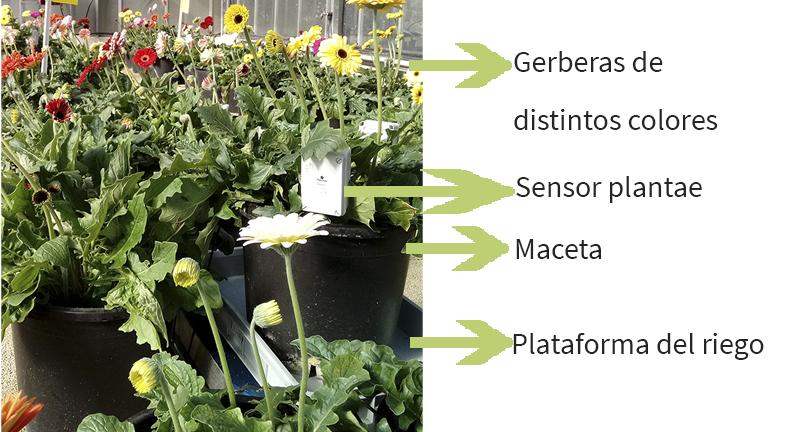 Gerbera flower with sensors