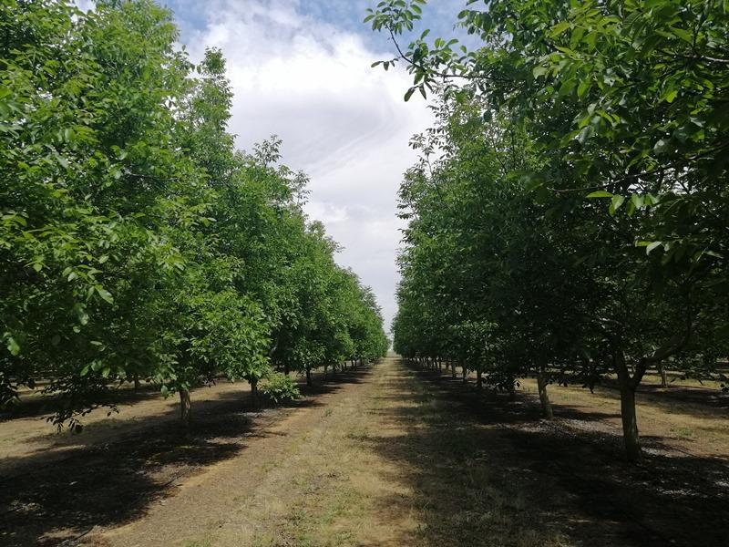 Plantación de nogales con sensores Plantae