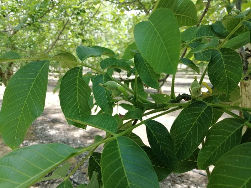 Brotes de nueces en una plantación de nogal en España intensivo