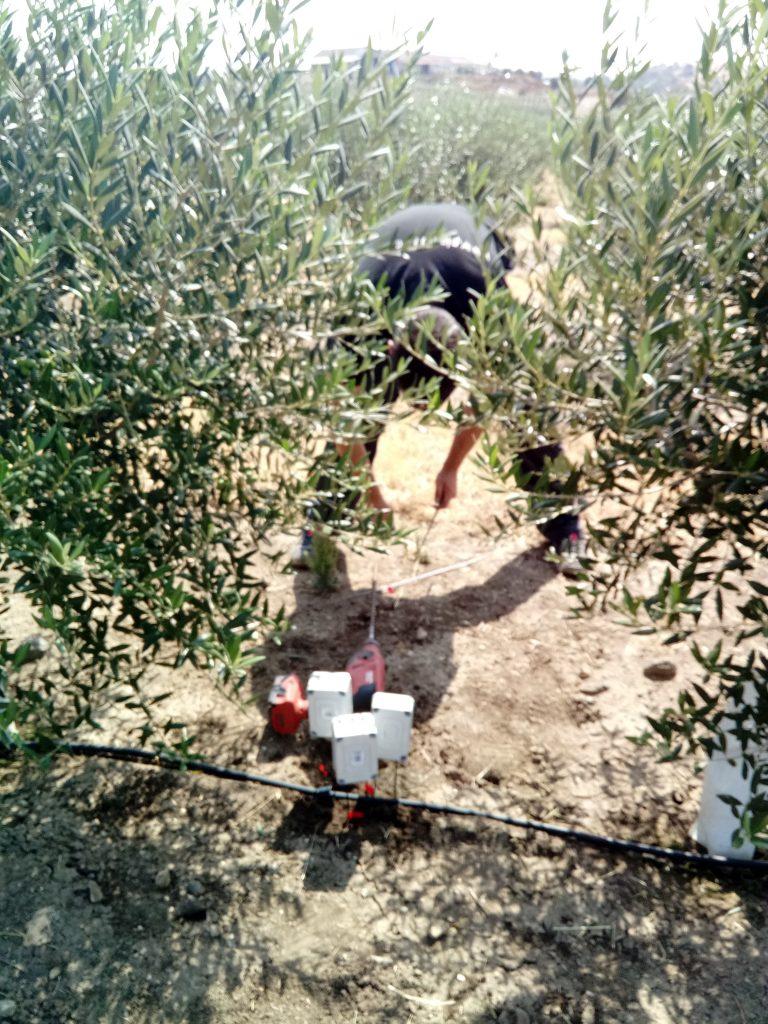 Técnico instalando los sensores en olivos del Alentejo