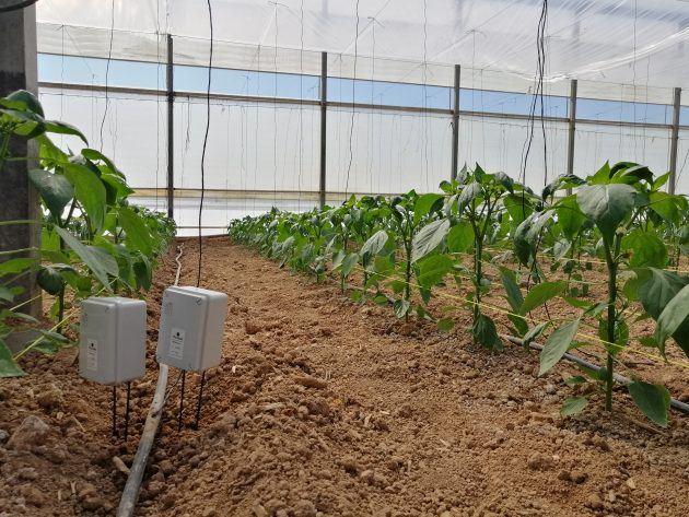 Greenhouse of peppers