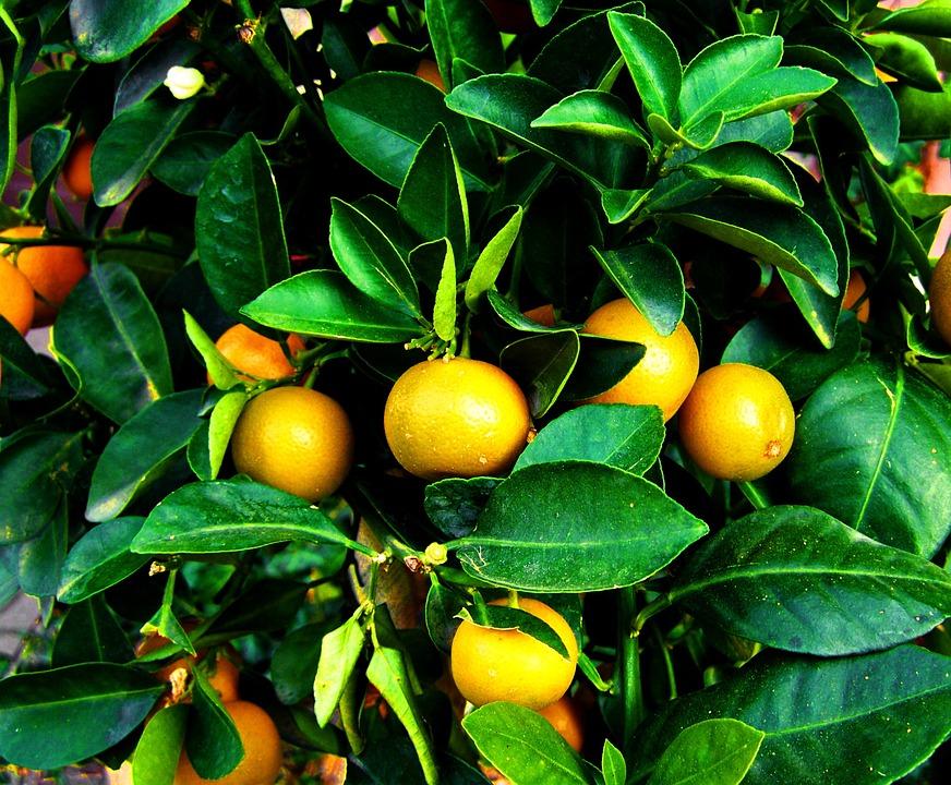 La fenología indica la integral térmica del Mandarino-fruta madura