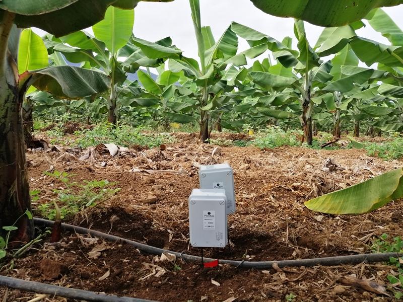 Sensores en plátanos de Canarias