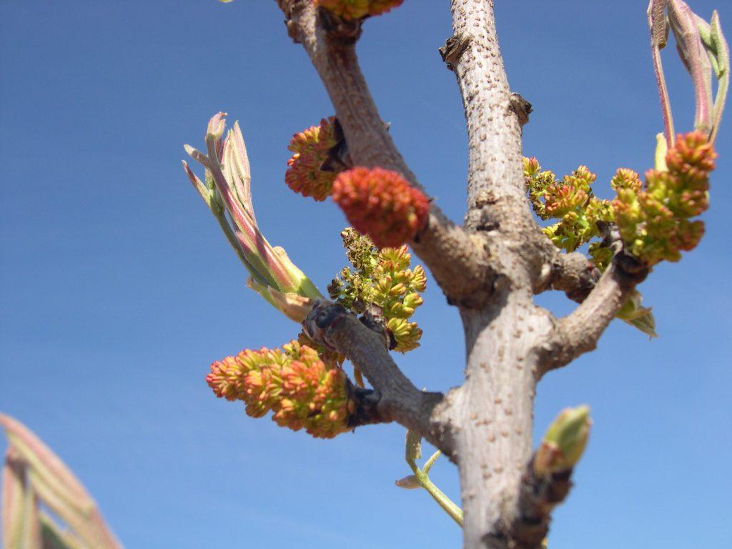 Pistachio flower buds