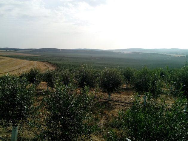 Plantación de olivo intensivo
