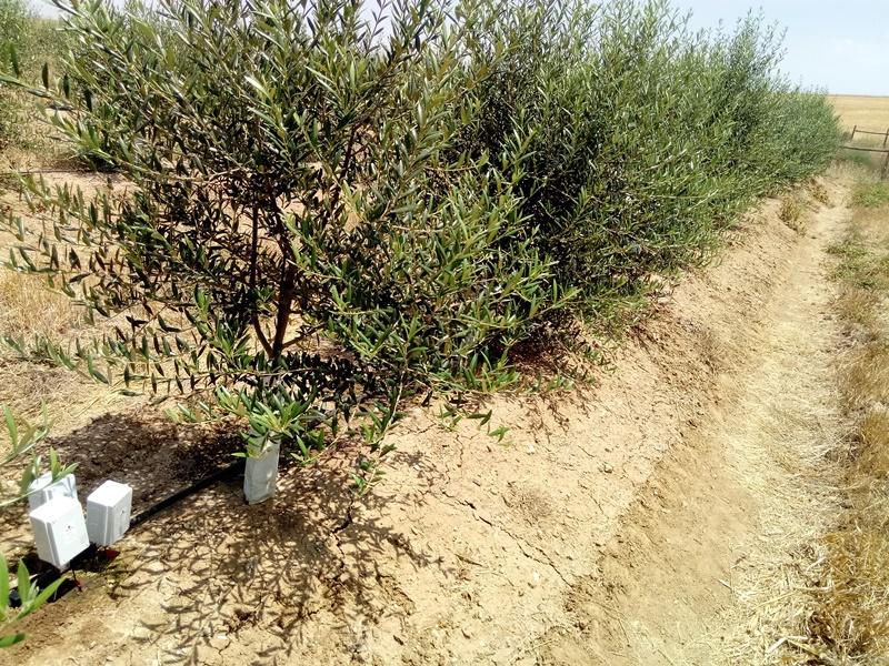 Sensores en olivo intensivo - Control de humedad y de los estomas del olivo