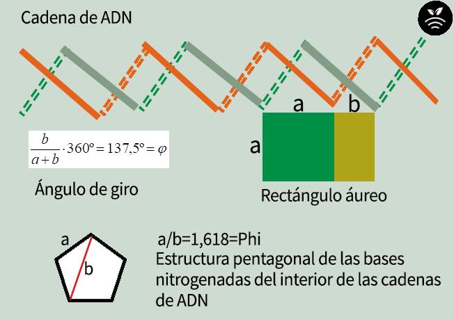 ADN de las plantas con el número áureo