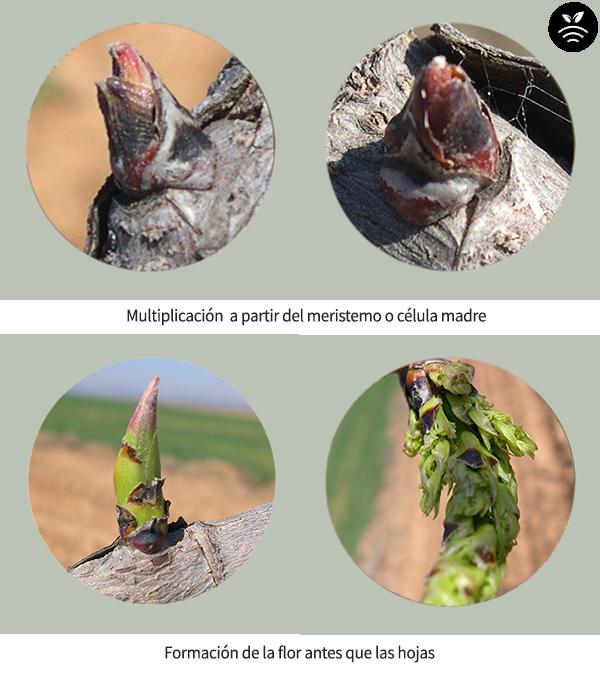 Brotes de flor de pistacho