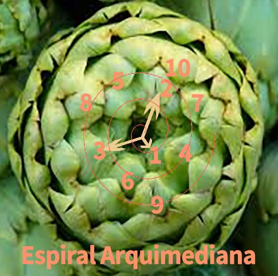 espiral áurea en alcachofa