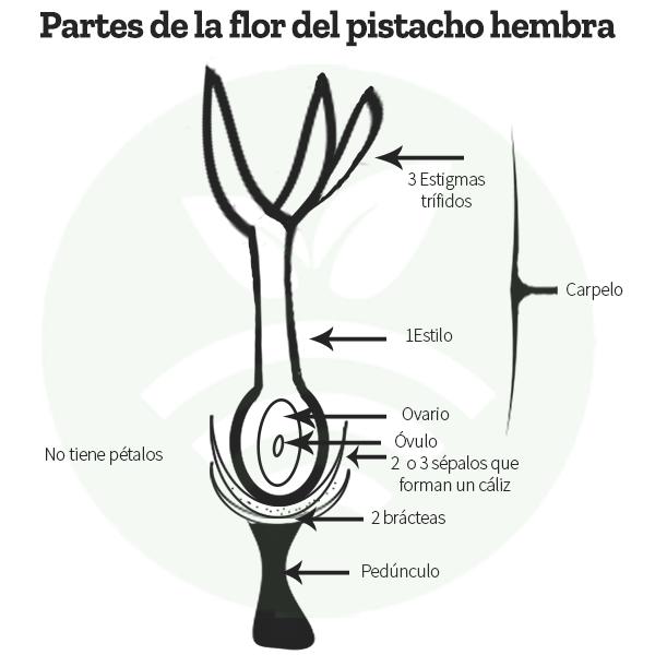 Parts of the female pistachio flowe