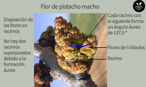 Male pistachio flower