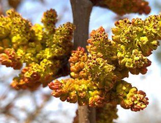 Flores de pistacho