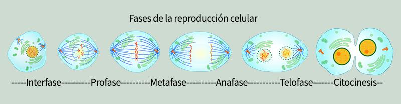 Esquema de la mitosis