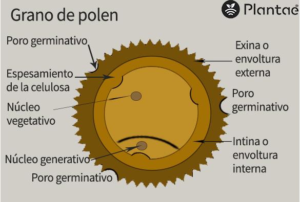 Partes del grano de polen del pistacho- Polinización del pistacho