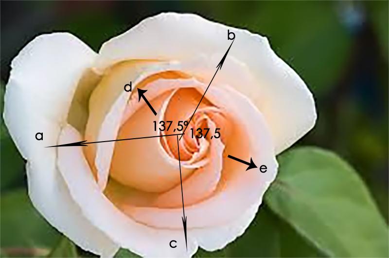 Rosa con ángulo áureo