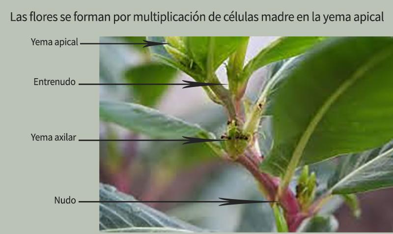 Yemas de una flor de pistacho