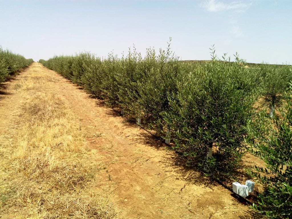 Control de la salinidad en plantación intensiva de olivos