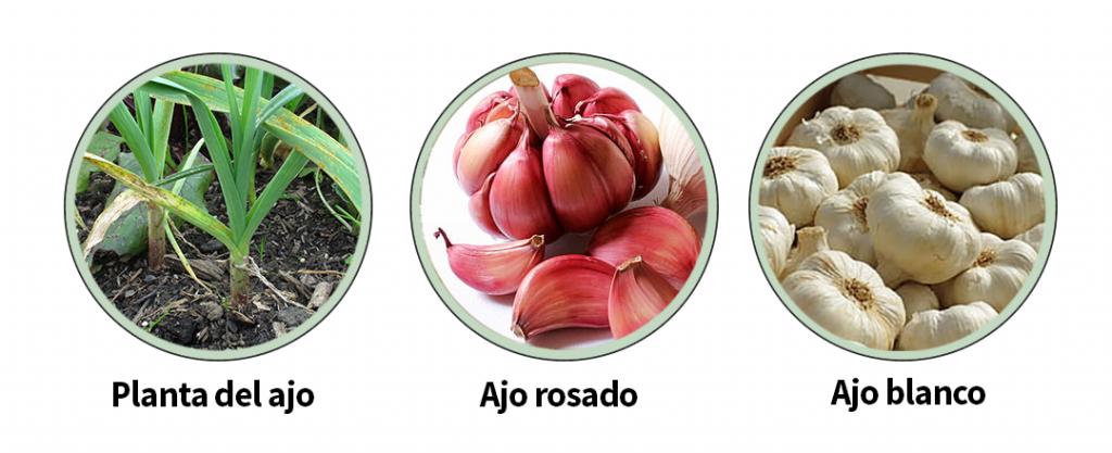 Variedades de ajo