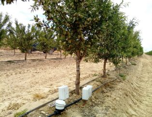 Super-intensive almond tree (in hedge) -Optimizes irrigation with probes