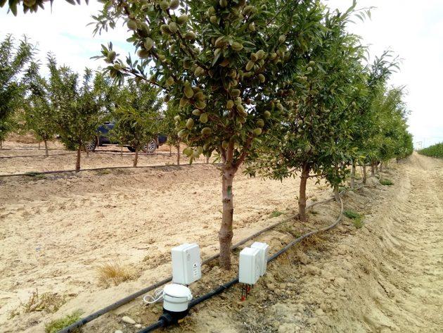 Plantación de almendro superinteensivo
