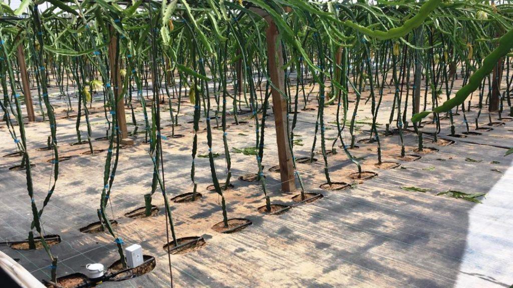 Plantación intensiva de pitaya