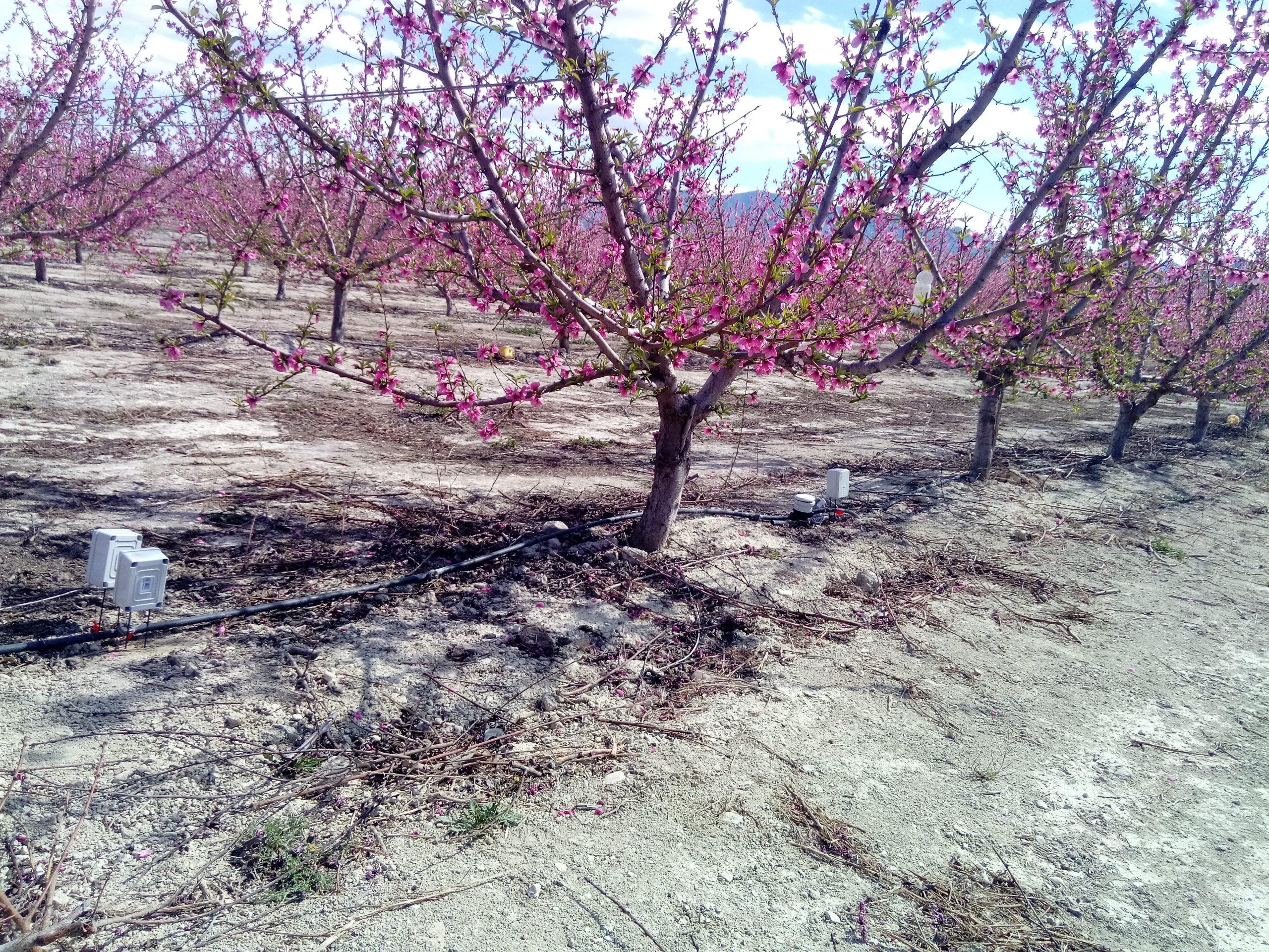 Flowering fruit tree with flow meter in irrigation