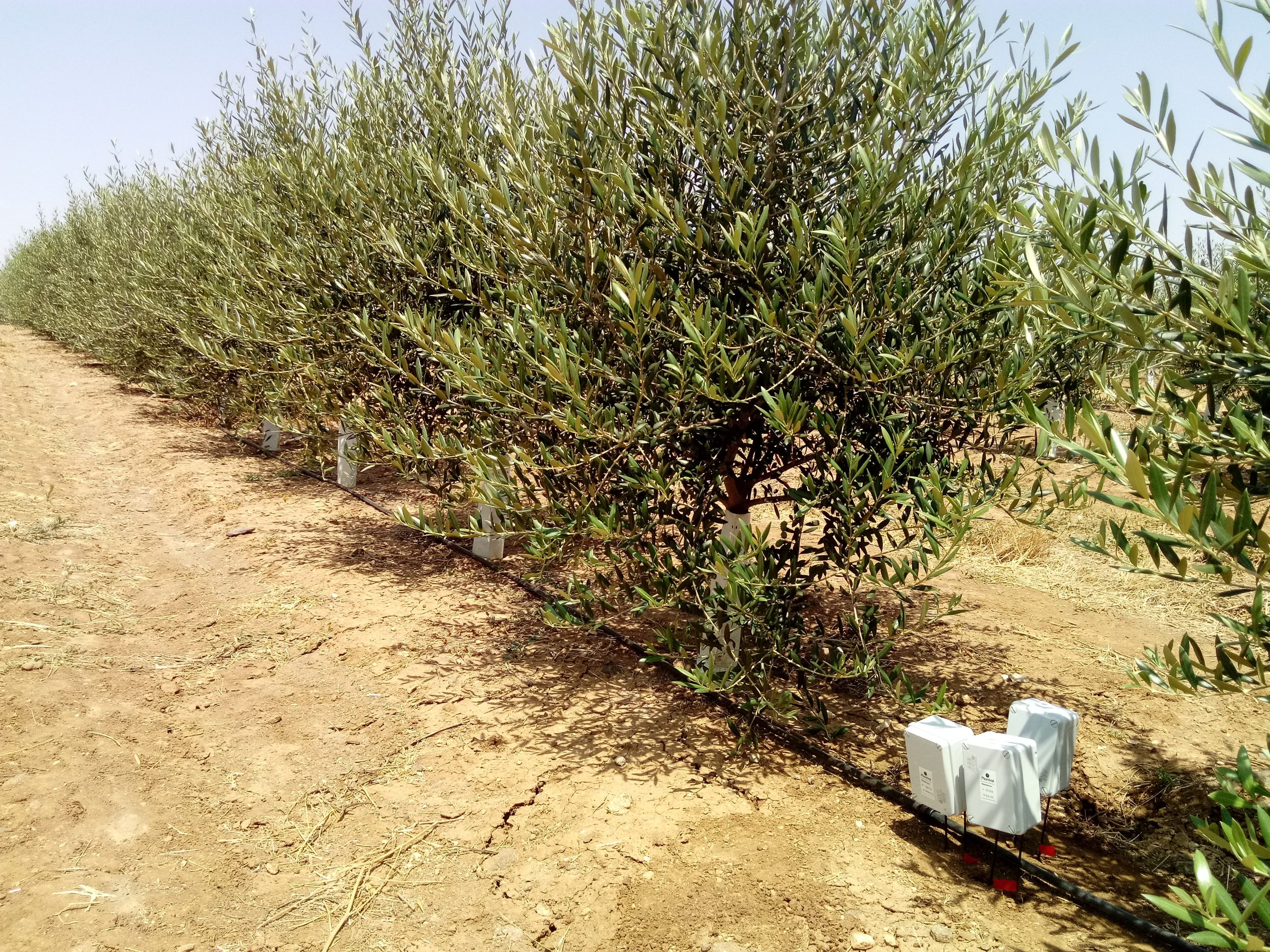 olivo portugal 3