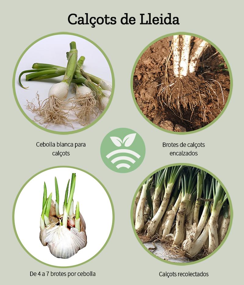 CalÇots- cultivo y cuidados