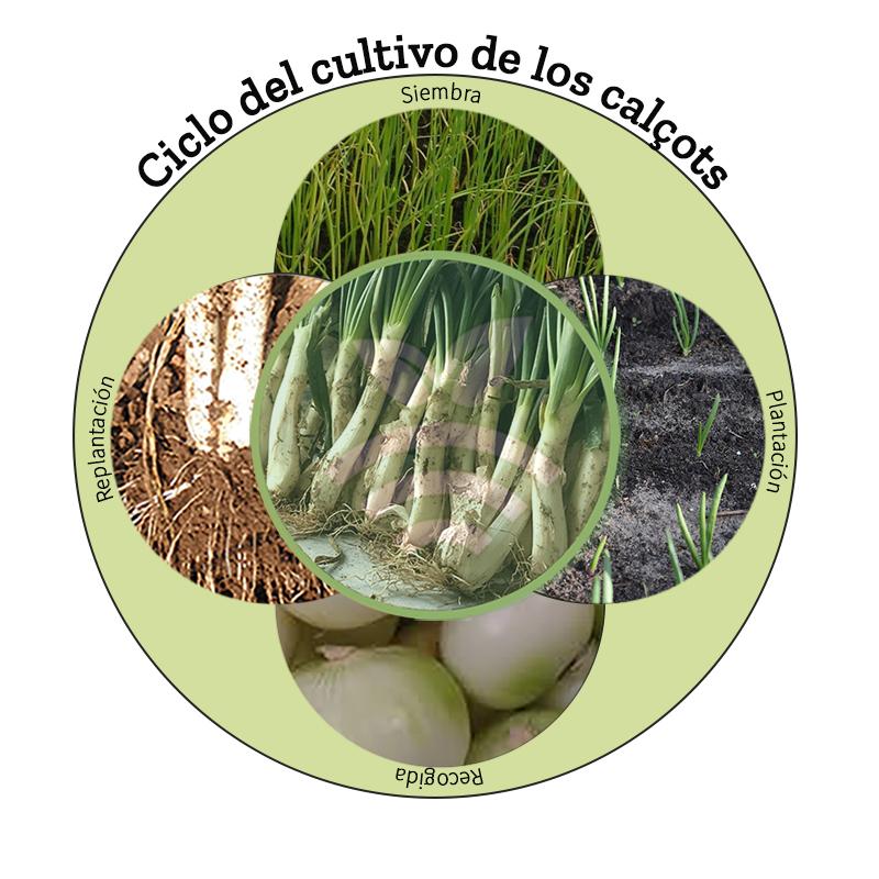 Cultivo de calcots
