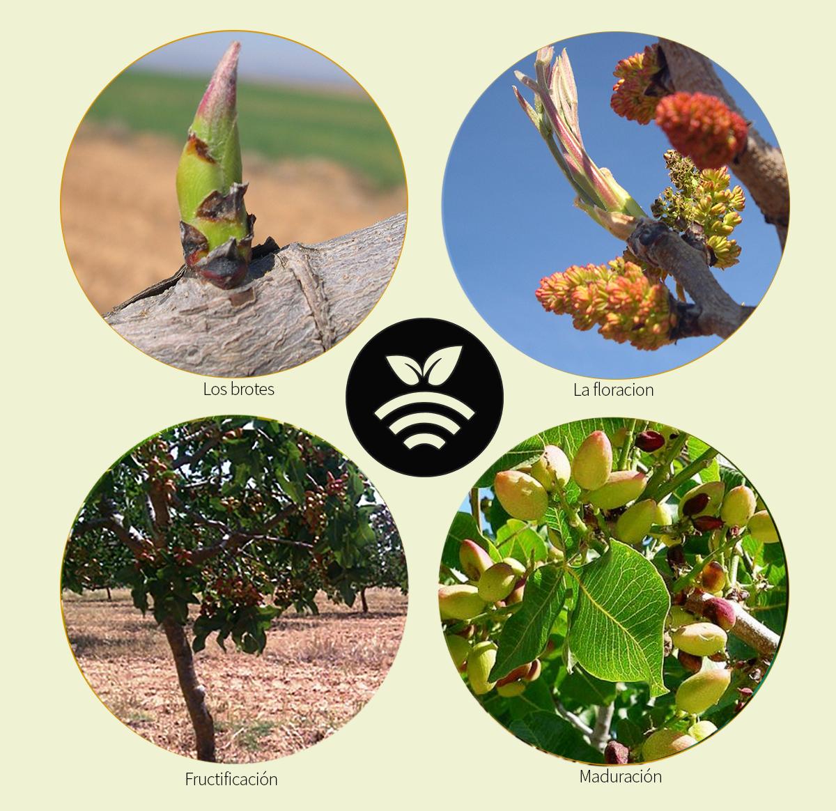 Fenología del pistacho