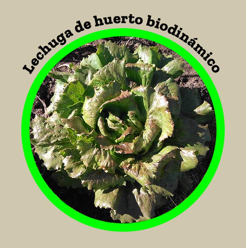 lechuga-agricultura-biodinámica