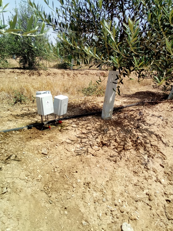Olive trees with humidity probes