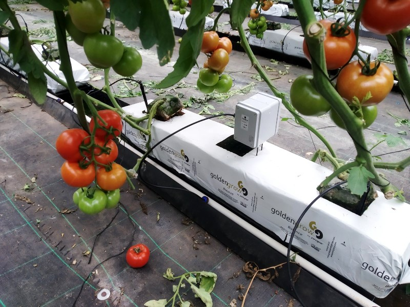 Tomato cultivation with hydroponic irrigation