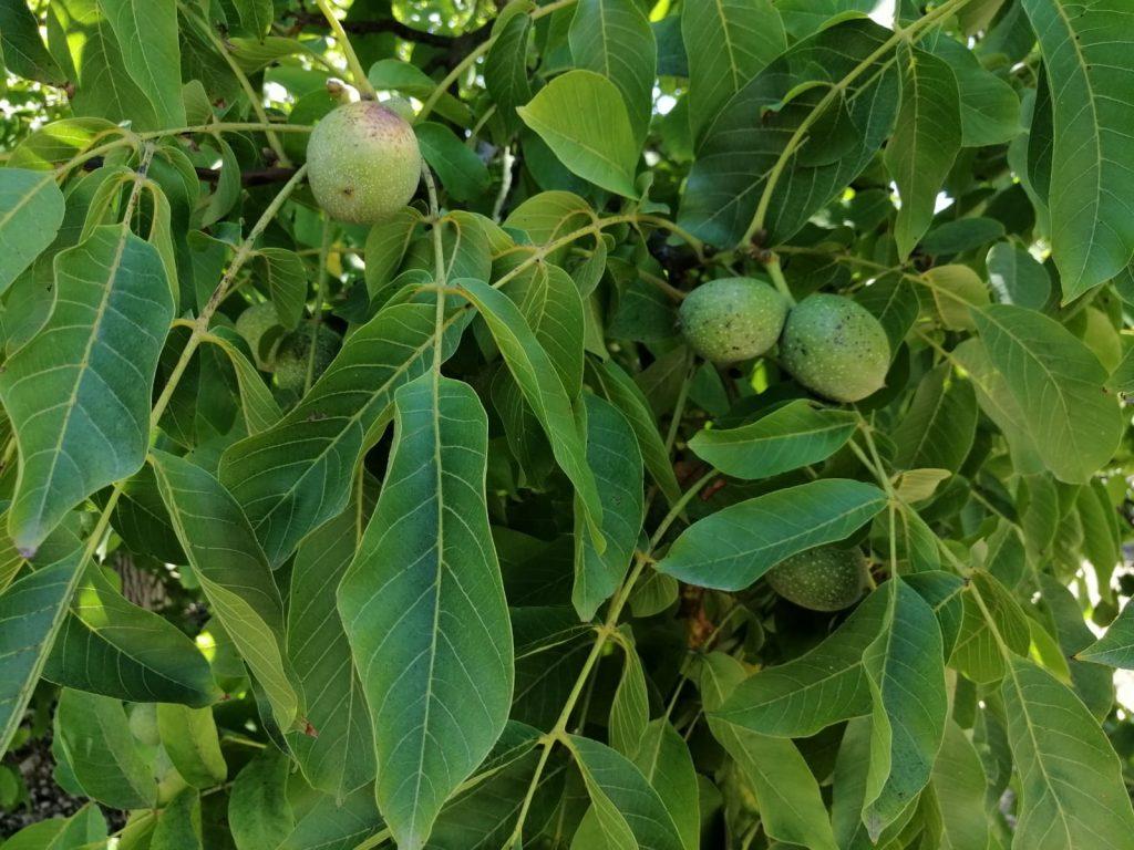 Nueces verdes