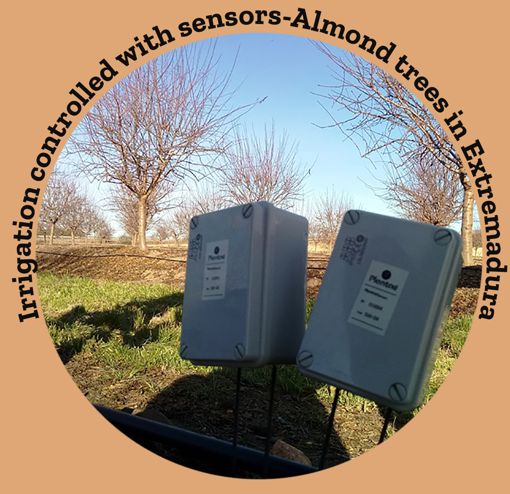 Moisture sensors in almond trees- (Extremadura) -Blossoming almond routes