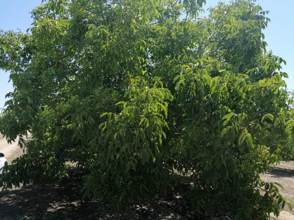 Intensive walnut