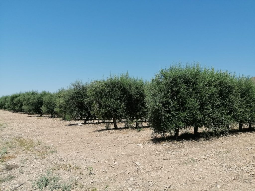 Controlled irrigation in intensive walnut