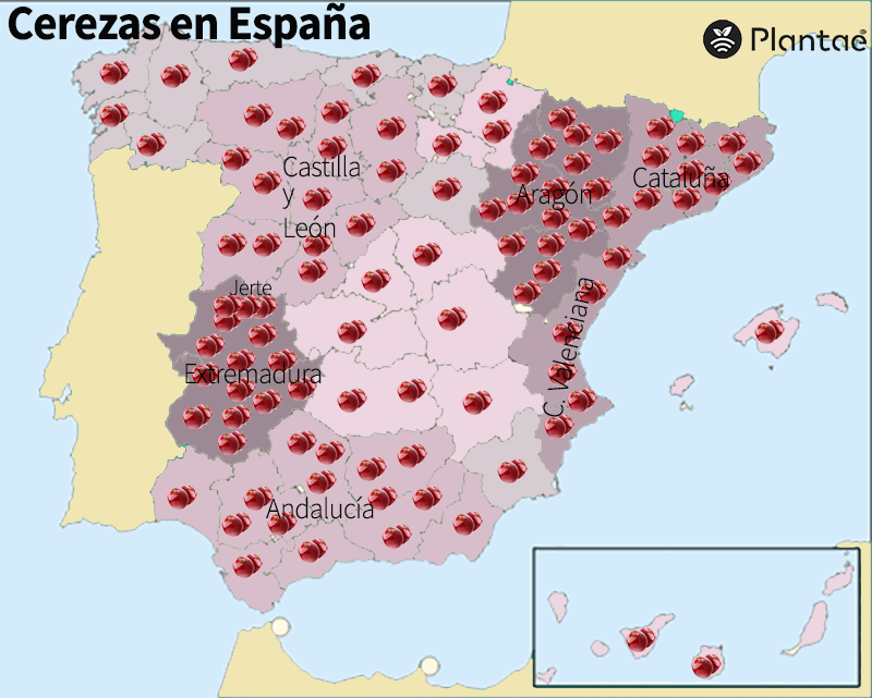 Cerezas en España- Picotas del Jerte