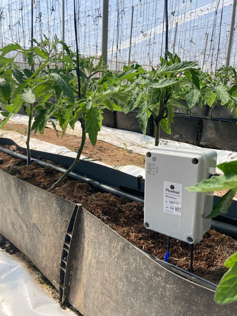 sensor en tomate con cultivo hidropónico