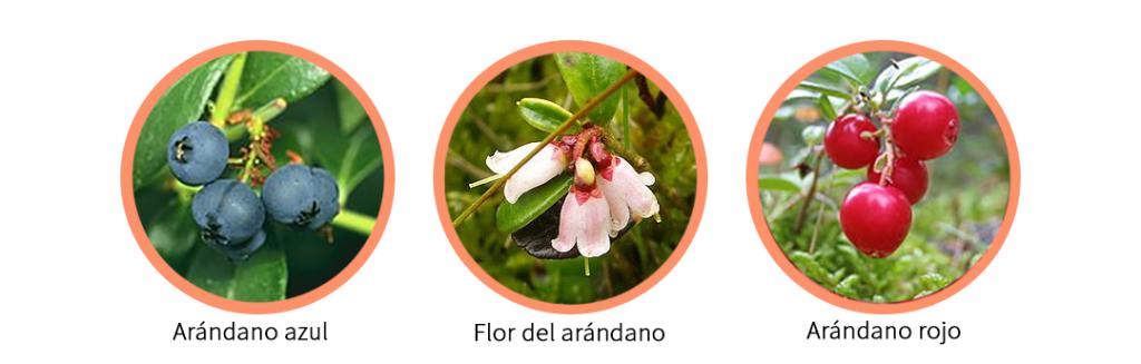 Variedades de arándanos en España